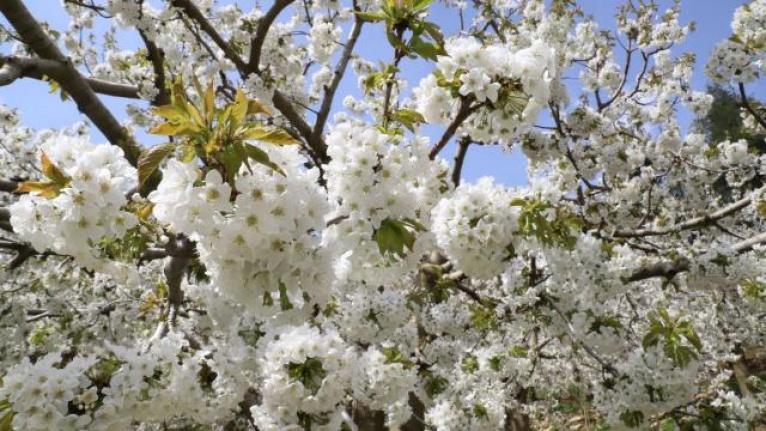 Andırın'da kiraz ağacı çiçekleri çiçek açtı
