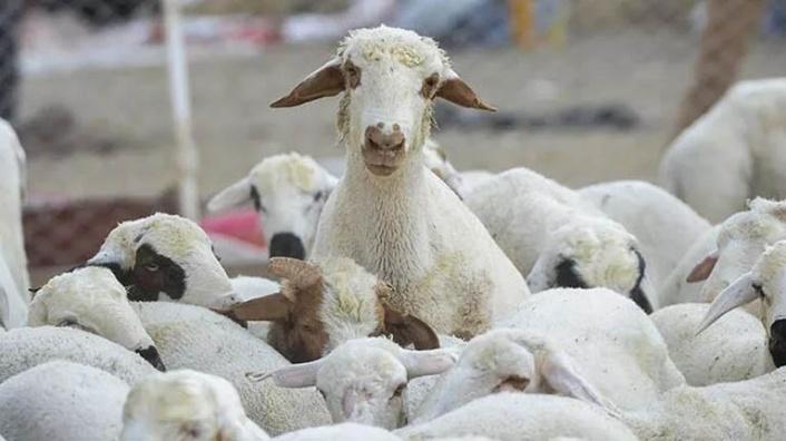 Kurbanlık hayvanlara iller arası hareketlerinde sevk öncesi şap aşısı