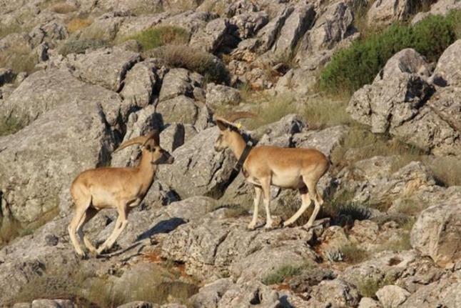 Anadolu yaban koyunlarının ilk yavruları hayata merhaba dedi