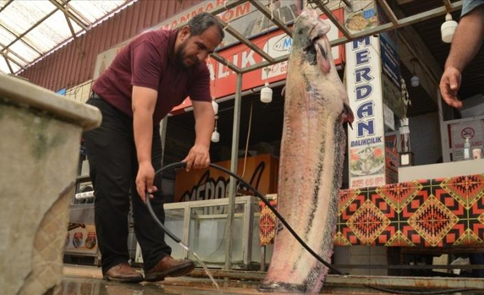 Baraj göletinde 130 kilogramlık yayın balığı yakalandı