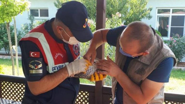 Jandarmanın bulduğu yaralı atmaca koruma altına alındı