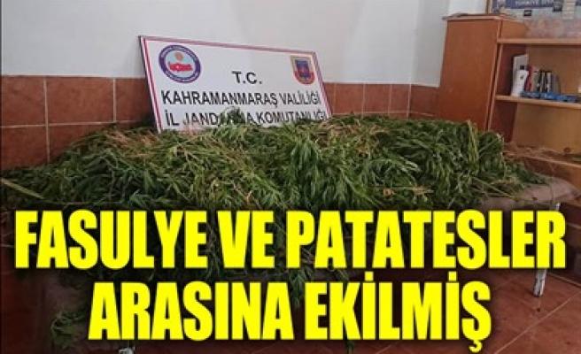 FASULYE VE PATATESLER ARASINA EKİLMİŞ