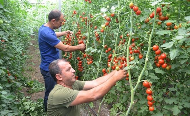 Komşu illerin domatesi Kahramanmaraş'tan