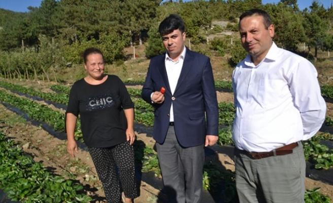 Kadın girişimci, devlet desteğiyle çilek bahçesi kurdu