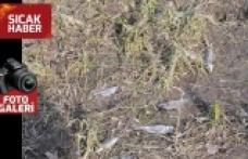 Baraj göletindeki toplu balık ölümleri yaşanıyor