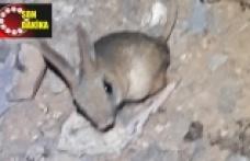 Arap tavşanı görüntülendi