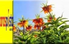 'Ağlayan Gelin' Ters Lale çiçeğini koparana 60 bin lira ceza verilecek!