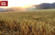 Afşin'de de ekinler biçilmeye başladı