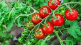 Meyve sebze sektörü domates ve mamullerinde hedef büyüttü