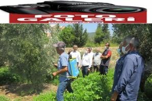 Andırın'da zeytin sineği ile toplu mücadele tarla okulu