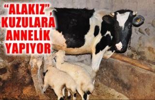 'ALAKIZ', KUZULARA ANNELİK YAPIYOR