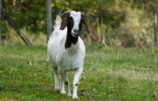 """""""Ormanın sigortası koyun ve keçidir"""""""