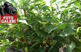 Tarımsal üretime desteği meyvelerini vermeye başladı