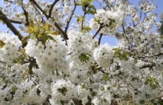 Andırın'da kiraz ağacı çiçekleri çiçek...