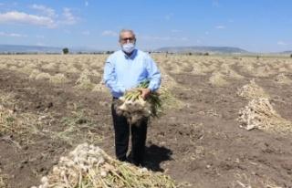 Dünyanın en iyi sarımsağını Pazarcık üretiyor