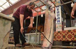 Baraj göletinde 130 kilogramlık yayın balığı...