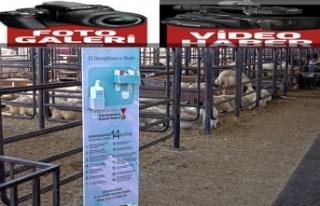 Canlı hayvan borsasında 'kontrollü' satışlar...