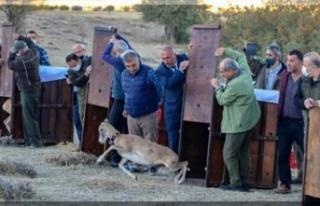 Doğal hayat korunuyor, yaban koyunları çoğalıyor