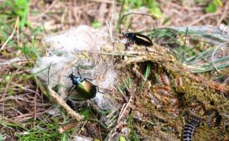 """Çam kese böceği için """"terminatör"""" böcek…"""