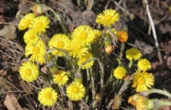 Uzmanlardan öksürüğü geçirmek için doğal yöntem: Farfara çiçeği
