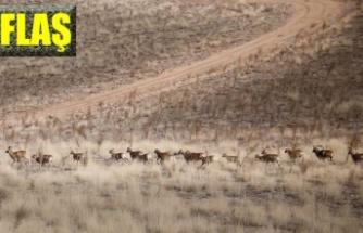 Anadolu yaban koyunları doğayla buluşuyor