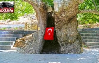 """""""Asırlık Çınar"""" turizme kazandırıldı"""