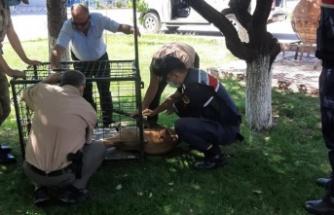 Dişi yaban keçicisi yaralı bulundu