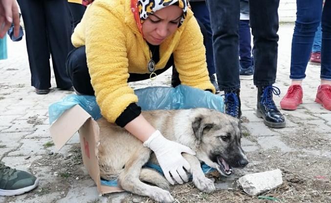 Öğrencilerin bulduğu yaralı köpek tedavi altına alındı