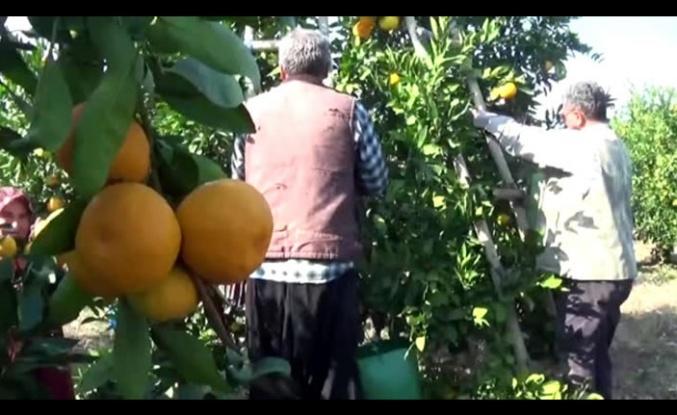 Mandalina hasadına başlandı